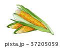 トウモロコシ コーン とうもろこしのイラスト 37205059