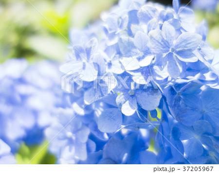 青いあじさい 37205967