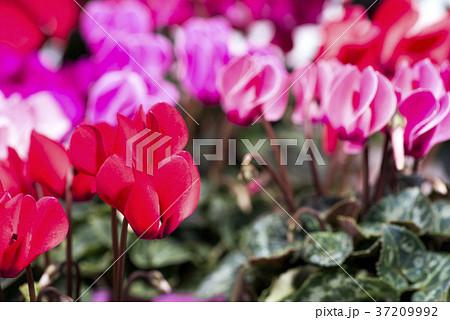 各色の花をバックに赤いシクラメンの花 37209992