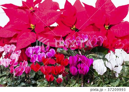 ポインセチアをバックに各色のシクラメンの花花 37209993