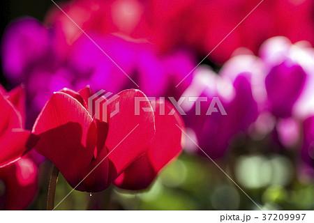 赤いシクラメンの花のアップ 37209997