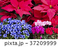 シクラメン リンドウ 花の写真 37209999