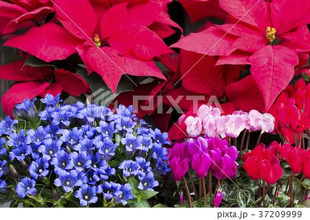 ポインセチアをバックにリンドウとシクラメンの花花 37209999