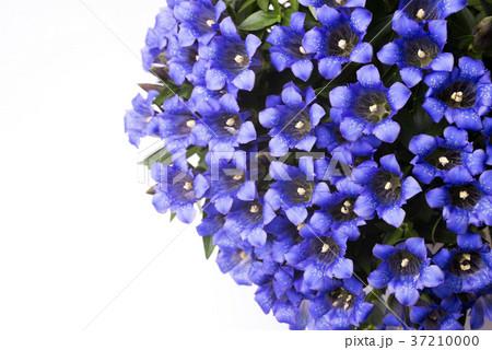 白背景のリンドウの花花 37210000
