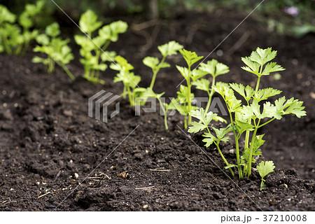 畑に植えてあるセロリ 37210008
