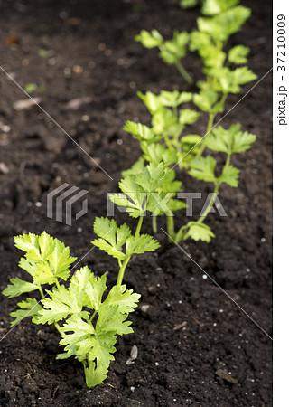 畑に植えてあるセロリ 37210009