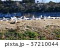 野鳥 鳥 ユリカモメの写真 37210044