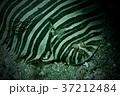 ウシノシタ 37212484