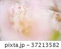 花 桜 ソメイヨシノの写真 37213582