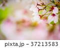 花 桜 ソメイヨシノの写真 37213583