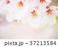 花 桜 ソメイヨシノの写真 37213584