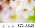 花 桜 ソメイヨシノの写真 37213585