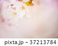 花 桜 ソメイヨシノの写真 37213784