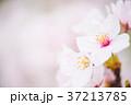 花 桜 ソメイヨシノの写真 37213785
