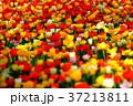 色とりどりのチューリップ 37213811