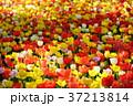 色とりどりのチューリップ 37213814