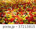 色とりどりのチューリップ 37213815