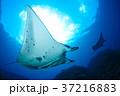 マンタ 37216883