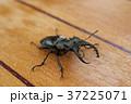 ミヤマクワガタ 37225071
