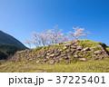 春の赤木城跡 37225401