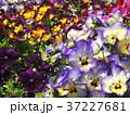 パンジー 花 植物の写真 37227681