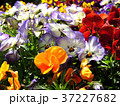 パンジー 花 植物の写真 37227682