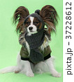 Beautiful young continental spaniel papillon in a 37228612