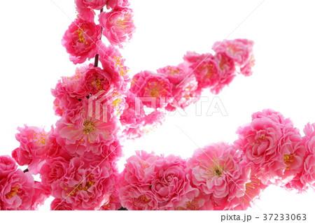 八重咲きの紅梅 37233063