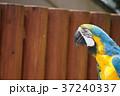 ルリコンゴウインコ Blue and yellow macaw 37240337