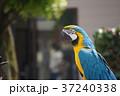ルリコンゴウインコ Blue and yellow macaw 37240338