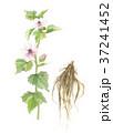 ウスベニタチアオイの花と根 37241452