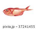 金目鯛 鯛 魚のイラスト 37241455