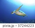 アオウミガメ 37244223