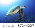 アオウミガメ 37244227
