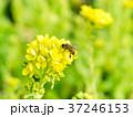 菜の花 黄色 ミツバチの写真 37246153