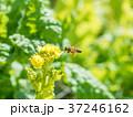 菜の花 黄色 ミツバチの写真 37246162