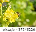 菜の花 黄色 ミツバチの写真 37246220