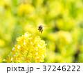 菜の花 黄色 ミツバチの写真 37246222