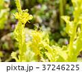 菜の花 黄色 ミツバチの写真 37246225