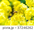 菜の花 黄色 ミツバチの写真 37246262
