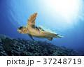 アカウミガメ 37248719