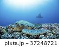 アオウミガメとマンタ 37248721