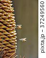 蘇鉄 雄花 西洋ミツバチの写真 37249560