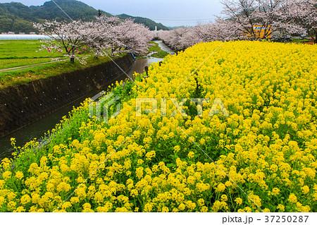 琴海花まつり 利根川のさくら 長崎 37250287