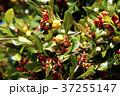 トベラ 果実 実の写真 37255147