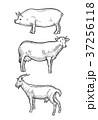 動物 ぶた ブタのイラスト 37256118