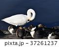 鳥 オオハクチョウ 池の写真 37261237