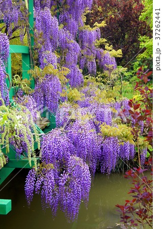 モネの池に咲くフジの花(浜名湖ガーデンパーク) 37262441