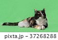 Beautiful three-colored cat on green background 37268288