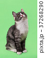 Beautiful two-tone color cat on green background 37268290